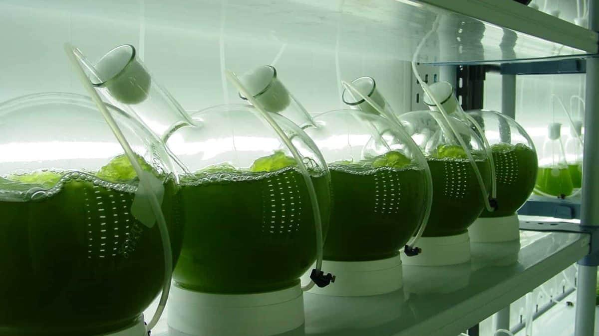 Microalgas podem gerar biocombustíveis