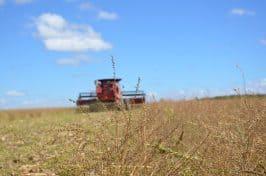 Agricultores colhem crambe no DF