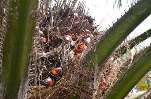 Dendê e biodiesel: linhas de pesquisa com oportunidade de bolsas
