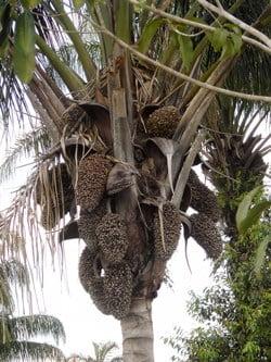 Palmeira inajá em terras roraimenses