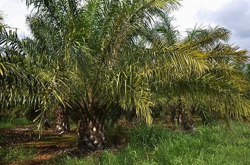 Dendê: fonte de óleo para biodiesel