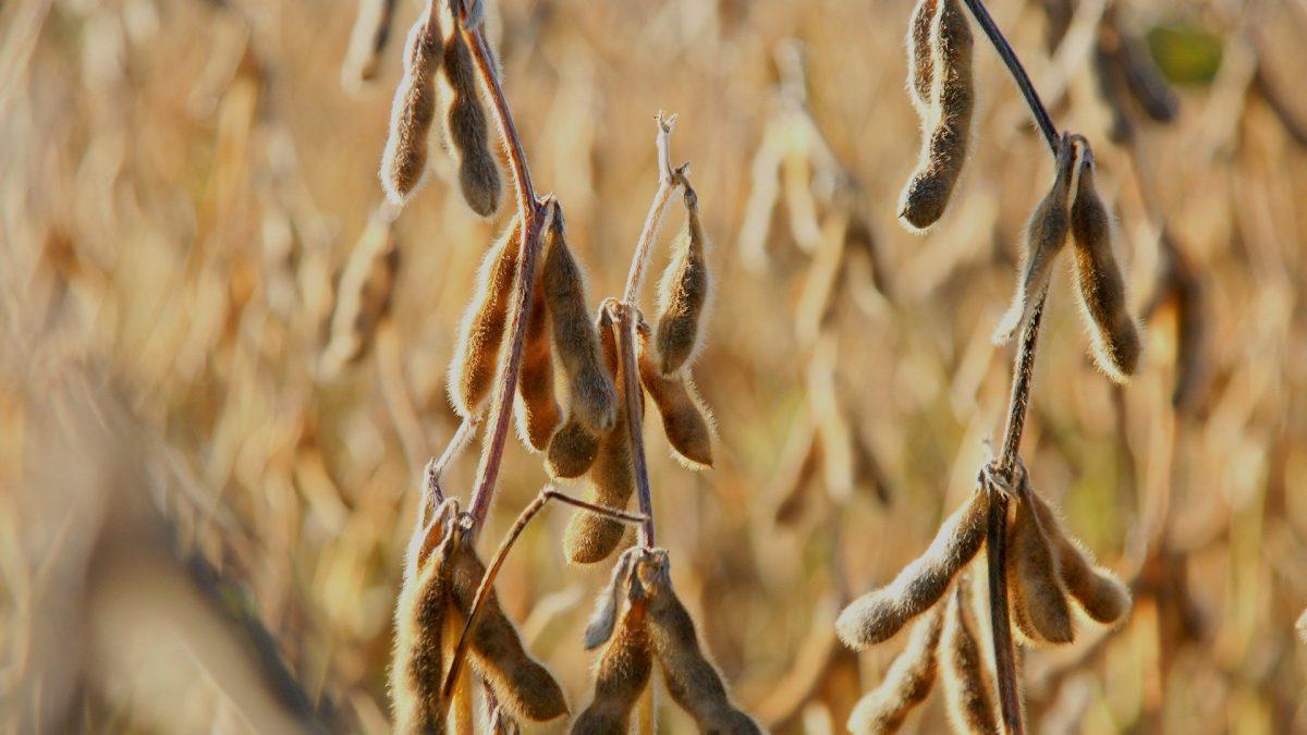 Clipping 1ª edição: Procura elevada e baixa disponibilidade elevam cotações da soja