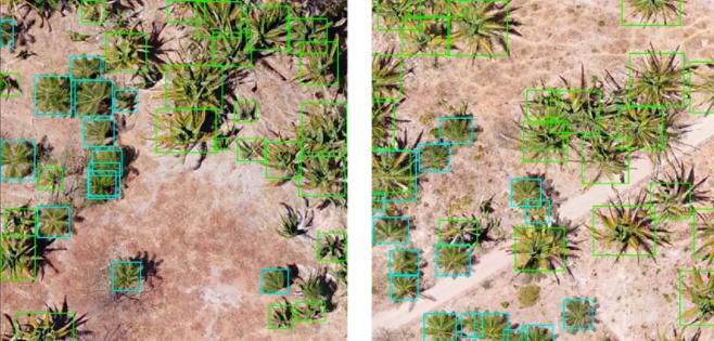 Ponte Inovação: Inteligência artificial diferencia e conta plantas de macaúba e babaçu no campo